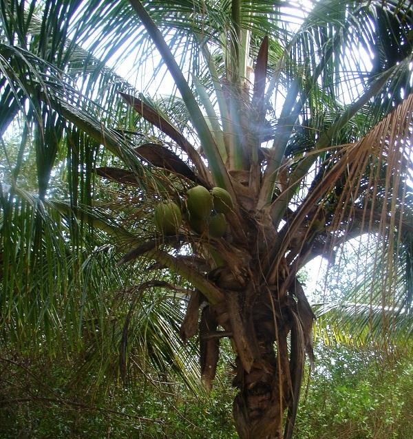 Кокосовая пальма на Гаити