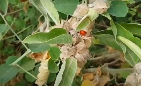 Ашваганда