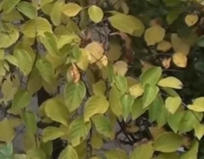 Лист лимонника