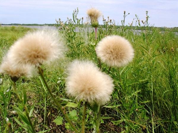 Бодяк полевой плодоносит