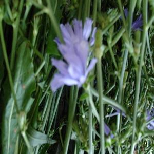 Цикорий трава