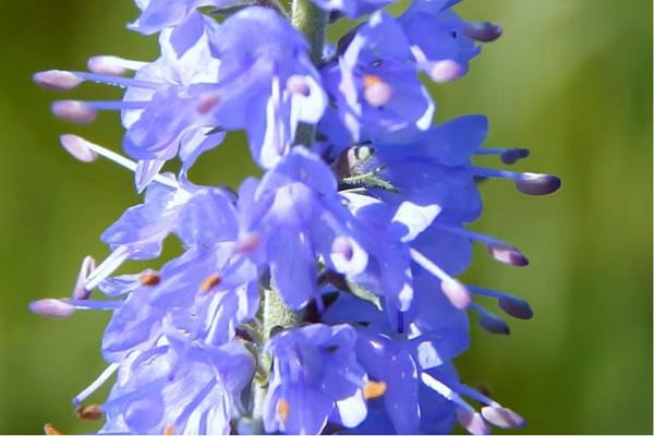 Цветущая вероника длиннолистная
